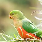 Australian King Parrot at Sheepyard Flat #4 by Aden Brown