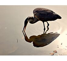 Great Blue Heron at Grover Cleveland Park, Essex Fells NJ - reflections1 Photographic Print
