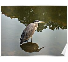 Great Blue Heron at Grover Cleveland Park, Essex Fells NJ - reflections2 Poster