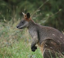 Red-Necked Wallaby  by Jacqueline  Murphy