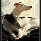 whippets in a window by tina williams