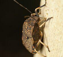 Toad Stink Bug - Platycoris sp. by Andrew Trevor-Jones