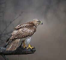 Hawk Encounter  by Daniel  Parent
