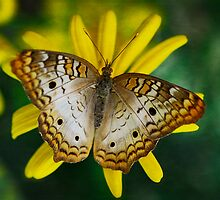 White Peacock Butterfly  by Saija  Lehtonen