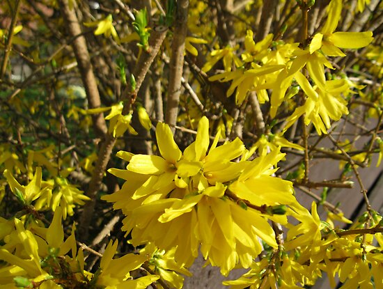 Golden Forsythia Flower by BlueMoonRose