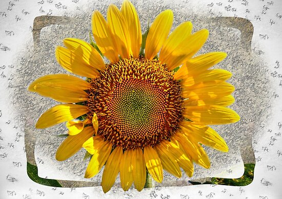 Sunflower by venny