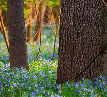 Among the Bluebells - Bull Run Park, Manassas, VA by Matthew Kocin