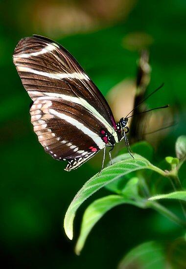 Zebra Longwing  by Saija  Lehtonen