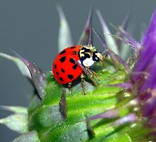 Lady Bug by Phil Campus