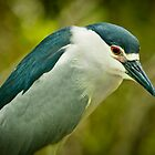 Black Crown Night Heron Stare by Joe Jennelle