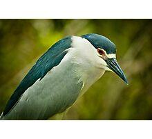 Black Crown Night Heron Stare Photographic Print
