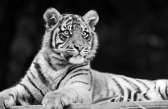 Young Stripes II by Josie Eldred