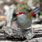 Red-browed Finch by EnviroKey