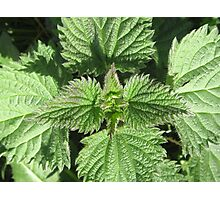 NETTLES STING BUT CAN TASTE GOOD TOO! Photographic Print