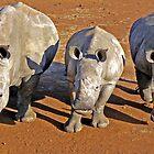 Rhino Trio Investigate by Graeme  Hyde