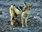 Black-backed Jackal Family by Carole-Anne