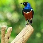 Superb Starling by Jessica Annalee