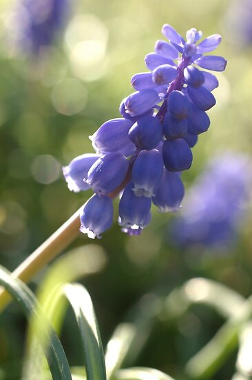 Muscari by marens
