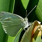 Cabbage Moth by Rick Playle