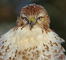 Eye to Eye with a Red-tailed Hawk by Bill McMullen