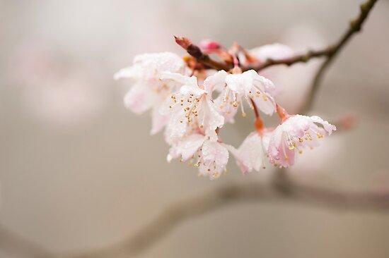 Prunus hirtipes by Anne Gilbert