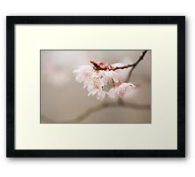 Prunus hirtipes Framed Print