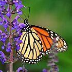 Monarch by Kelly Cavanaugh
