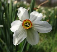Jonquils among us (Narcissus) by vigor