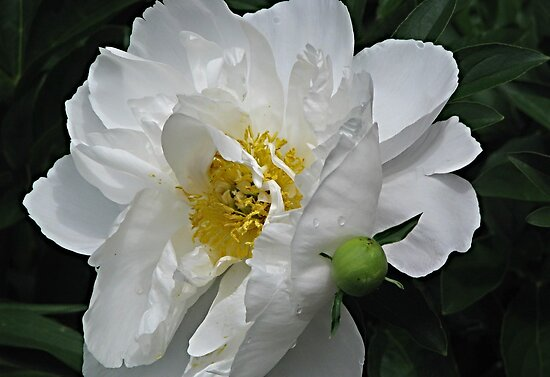 Pining for Peonies by Monnie Ryan