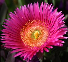 Pink or purple desert flower of Southern California by bubblenjb