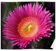 Pink or purple desert flower of Southern California Poster