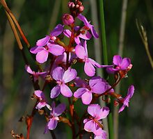 Stylidium graminifolium by andrachne