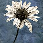 Coneflower by Kelly Cavanaugh