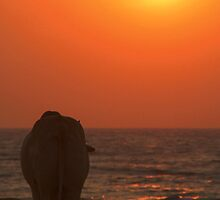 Cow Watching the Sunset Arambol by SerenaB