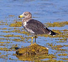 Please Identify bird at Pt Danger, Torquay by Andy Berry