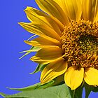 Sunflower by Kelly Cavanaugh