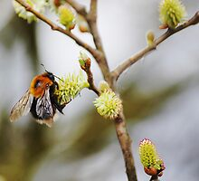Bumblebee collects nectar by flashcompact
