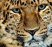 Zane ...Amur Leopard by DoreenPhillips