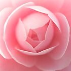 Pink Camellia  by Skye Hohmann