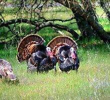 Male Turkeys by Diego  Re