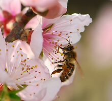 peach blossom and bee by davvi