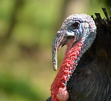 Turkey Closeup by Bami