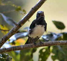 Willie Wagtail Yawns by Bami