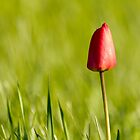 Lone Tulip by michelsoucy