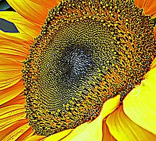 Sunflower by Barbara Caffell