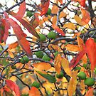 Tasmanian Autumn Color by Asoka