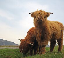 Highland Cows by Photo Scotland