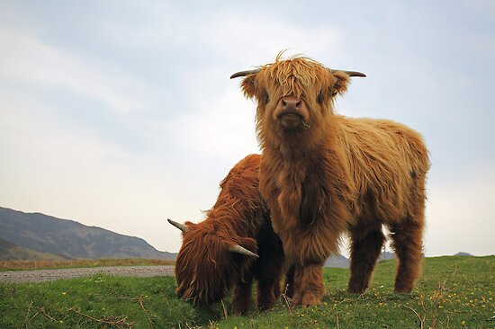 Highland Cows by Grant Glendinning