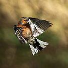 Chaffinch by Grant Glendinning