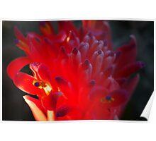 Bromeliad  Poster
